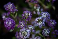 Alyssum Indigo 200 Blue Seeds- Sweetly Scented, Great Cover